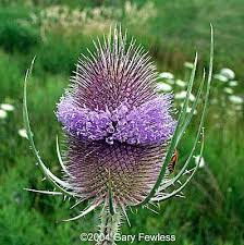 teasel flower
